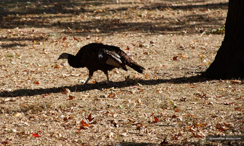 A Wild Turkey in New York's Battery Park