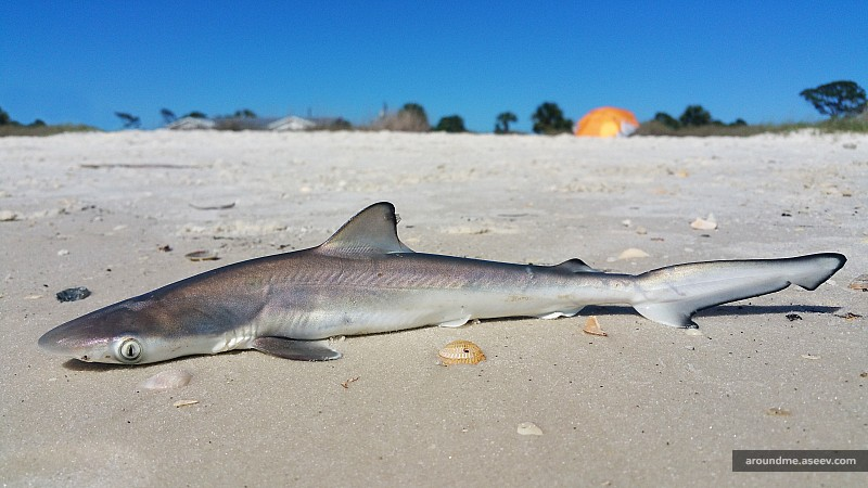 Florida Fishing: Juvenile Atlantic Sharpnose Shark