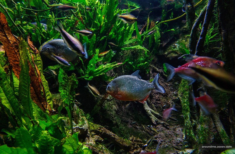 Piranhas at the New York Aquarium