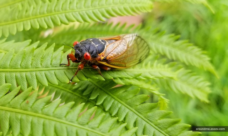Cicadas Emerging After 17 Years Underground